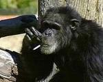 شامپانزه سیگاری در باغ وحش در سن ۵۲ سالگی مرد.