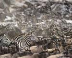 صحنه های جالب از تصادف دوستانه گورخرها و گاو های وحشی در رود مارا در کنیا