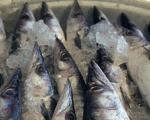 عرضه ماهیان خاویاری پرورشی به بازار داخلی