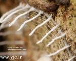 لانه عجیب حشره تازه کشف شده +تصاویر
