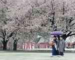 بارش برف بهاری پس از ۴۰ سال در توكیو