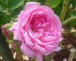 گل محمدی، برای درمان دردهای روماتیسمی