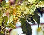 درخت مسواک و خواص مفید آن