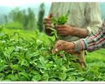 ایران در بین کشورهای مصرف کننده چای ،درای چه رتبه ایی است؟
