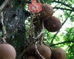درختی عجیب با میوه های مرگبار +عکس