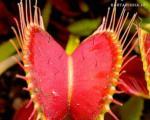 گل ها و گیاهان شکارچی را بشناسید +عکس