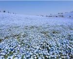دریایی از گل های آبی در ژاپن +عکس