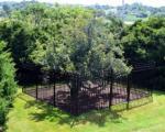 درخت میوه 383 ساله! +عکس