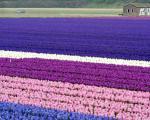 تصاویری محشر از مزارع سنبل در هلند