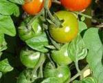 کاشت ساده ی گوجه فرنگی در گلدان