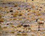 استمرار آلودگی به طاعون در حیات وحش غرب کشور/ احتمال طغیان اپیدمی پس از بلایای طبیعی
