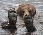 حرکات اکروباتیک خرس قهوه ای برای خنک شدن در دریاچه