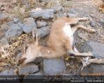 عکس: مرگ حیات وحش بر اثر بیماری طاعون