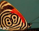 شگفت انگیزترین پروانه های دنیا +عکس