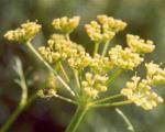 فواید گیاه دارویی آنغوزه