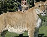 لایگر:  بزرگ ترین گربه سان جهان را ببینید