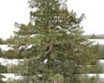 بلندترین درخت جهان