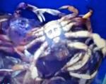 تصویر اسامه بن لادن، بر روی پوست یک خرچنگ وحشی!