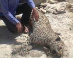 مرگ یک پلنگ ایرانی در فارس (+عکس)
