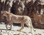 پیرترین یوزپلنگ دنیا در ایران رؤیت شد
