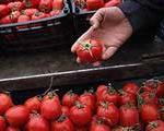 وعده ورود گوجه بوشهری و توقف رشد قیمت