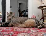 تپل ترین گربه جهان! +عکس