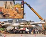 تصاویر درخت گردوی 300 ساله 26 تنی که در چین دزدیده شد