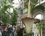 بزرگترین گل جهان در سوئیس غنچه داد