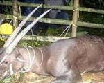پستاندار شاخ دار نادری در آسیا گرفته شد