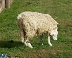 عجیب ترین گوسفند +تصاویر