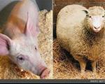تولید نخستین حیوانات مهندسی شده مقاوم به بیماری