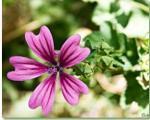 گل ختمی, مسکن  طبیعی