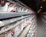 ادامه بحران در واحدهای مرغ تخم گذار!