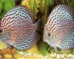 فرماندار همدان:ساخت مجتمع تكثیر و پرورش ماهیان زینتی