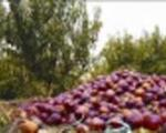 در سایه سکوت وزارت جهاد کشاورزی؛میوه روی دست باغداران پوسید!