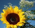 داستان عاشقانه گل آفتابگردان عاشق