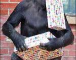 تصویر جشن تولد پیرترین گوریل جهان