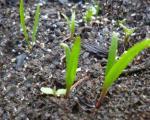 چگونگی کاشت ،داشت و برداشت گیاه اسفناج