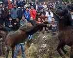 نبرد اسبها برای آشتی زن و شوهر!