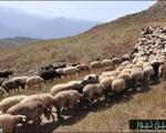 ارمغان گرانی ارز  /گوسفندها شبانه از ایران میروند!!