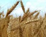 آمریكا به ایران گندم فروخت