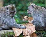 فرزندخواندگی یک بچه گربه توسط میمون (+ عکس)