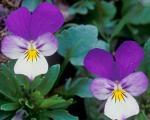 با تعدادی از گلهای پاییزی آشنا شوید + روش نگهداری