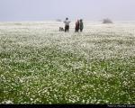 عکس: دشت گلهای بابونه در اردبیل