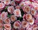 تولید آبنباتی که بدن را به خوشبویی گل رز میکند