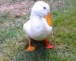 پروتز پای اردک هم ساخته شد+تصاویر