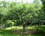درخت سیب معروف نیوتن / تصاویر
