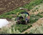 عکس: برداشت کرفس در مزارع طارم