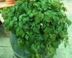 پرورش و نگهداری گل پیچ سیسوس (پیچ کانگرو)
