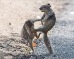 سنجابهای کونگ فو کار / تصاویر